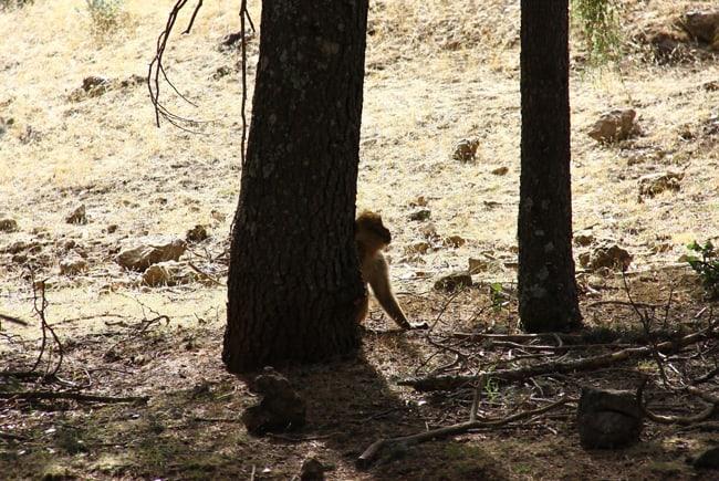 09 macachi foresta dei cedri