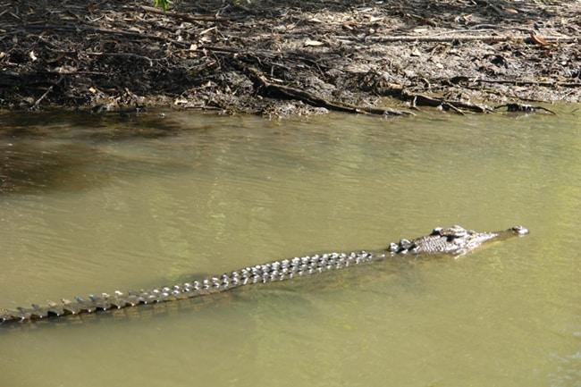 Australia, coccodrillo.