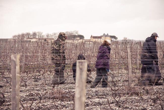 Château d'Yquem, le uve del bianco più prezioso al mondo