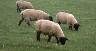 Le pecore di Scozia, la moto e la Brexit