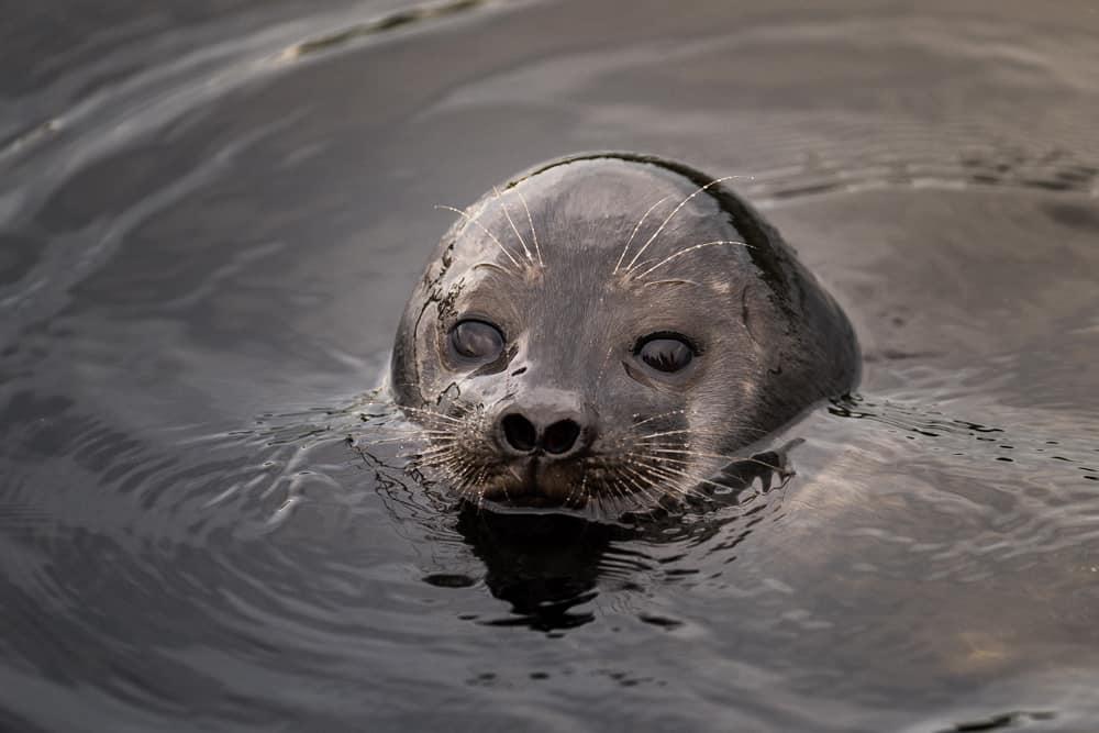 La foca del Saimaa